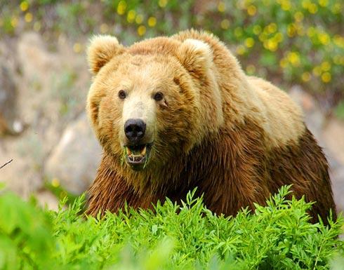 السبب وراء قرار رومانيا بتقليص عدد الدببة