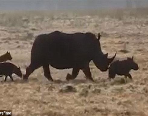 """شاهد.. ماذا فعلت """"وحيد القرن"""" لحماية أطفالها من هجمات الضباع"""