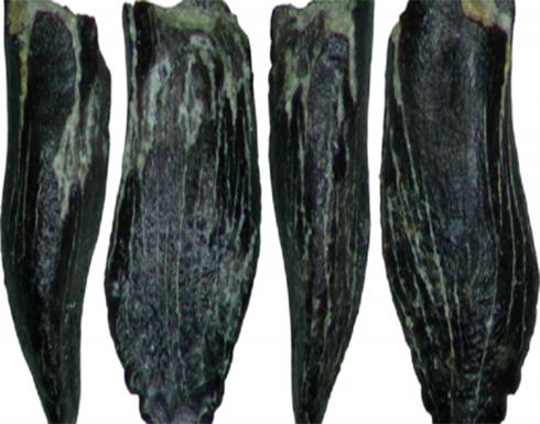 العثور على متحجرات للديناصورات العملاقة في شمال شرق روسيا