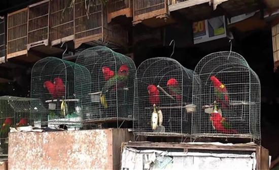 إحباط محاولة تهريب مئات الببغاوات في إندونيسيا