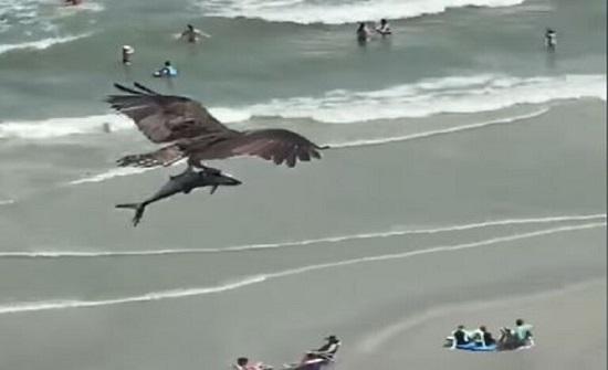 فيديو لا يصدق يجتاح الإنترنت لطير ضخم يحلق حاملا سمكة تشبه القرش
