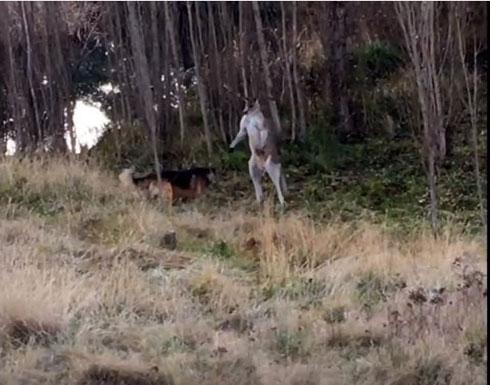بالفيديو....خناقة بين كلب وكنغر تستدعي تدخل الشرطة
