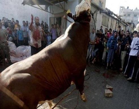 في العيد..عجل يقتل اللحام ويصيب آخرين ويهرب