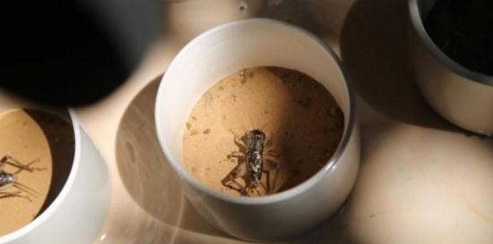 ثمن الواحد قد يصل لآلاف الدولارات.. الصراصير أغلى من الذهب في هذه المدينة (صور)