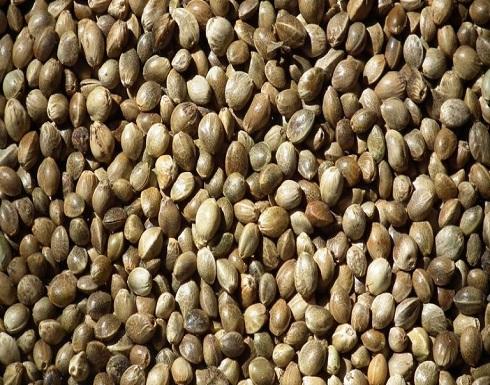 من علاج مشاكل الجلد لتعزيز صحة القلب.. فوائد مدهشة لبذور القنب