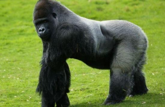 غوريلا هاربة تثير الرعب في حديقة حيوانات لندن (فيديو)