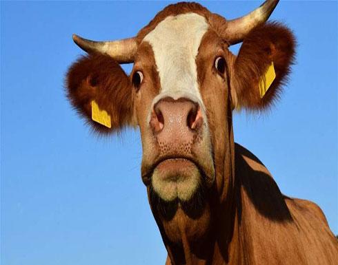 ممارسة مزعجة وخطيرة.. تحذير من تقبيل البقر في هذا البلد!