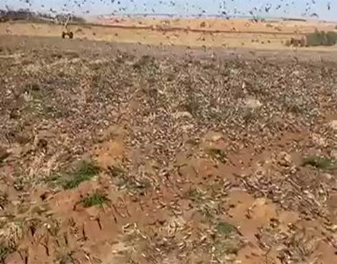 بالفيديو : الجراد يجتاح محافظة القصيم في السعودية