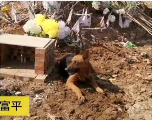بالفيديو : كلب وفي ينبش قبر صاحبه لإخراجه ويأبى مغادرته في الصين