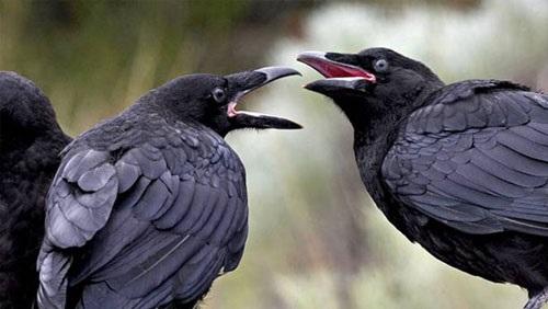 بالفيديو..الغربان تهاجم البشر في أستراليا