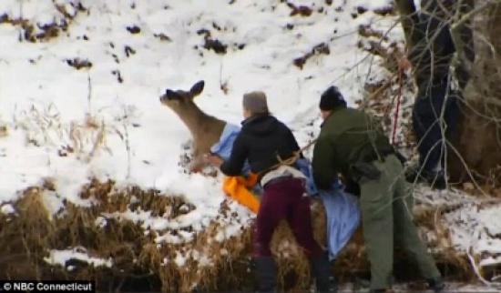 بالفيديو والصور.. 3 رجال ينقذون غزالا علق في نهر متجمد
