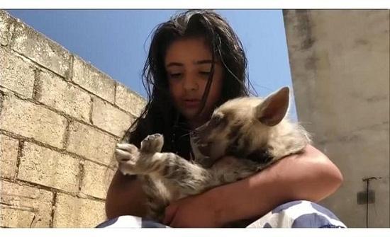 بالفيديو .. طفلة أردنية تربي الضباع