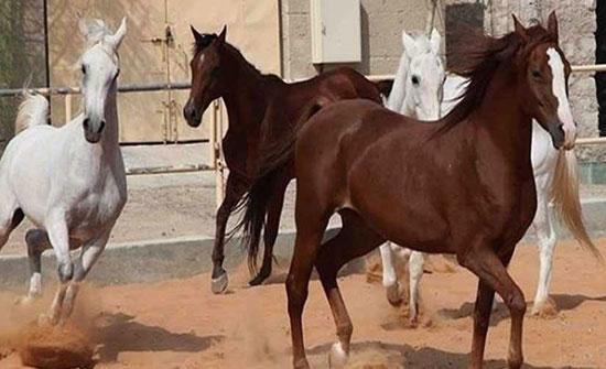 مصر تفتح باب تصدير الخيول الى ألاردن