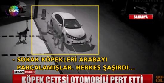 """مجموعة من الكلاب المسعورة تأكل سيارة في تركيا """"شاهد"""""""