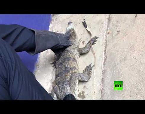فيديو : تمساح يقتحم طابقا علويا في منزل بالصين