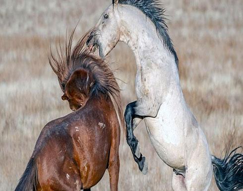 """بالصور : """"معركة شرسة"""" بين فحلين بالغين في أحد الحقول"""