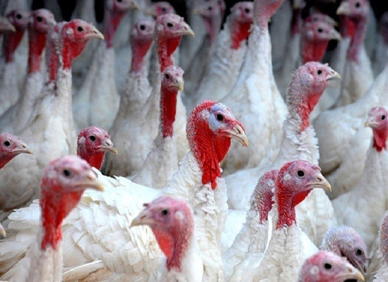 إنفلونزا الطيور تنتشر في ألمانيا