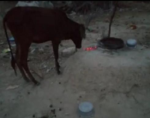 بالفيديو : بقرة باكستانية تأكل جمرات فحم مشتعلة