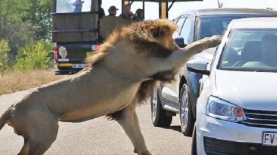 أسد يهاجم السياح بعد أن صدته لبؤة (فيديو)