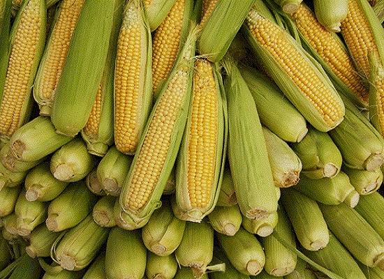 علماء ينجحون في سماع صوت نمو نبات الذرة