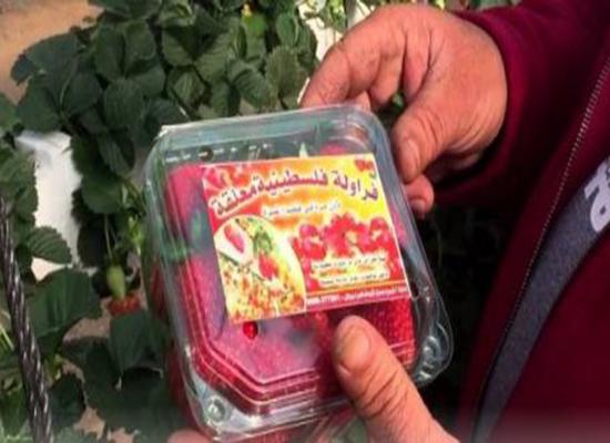 فراولة غزة الى اوروبا