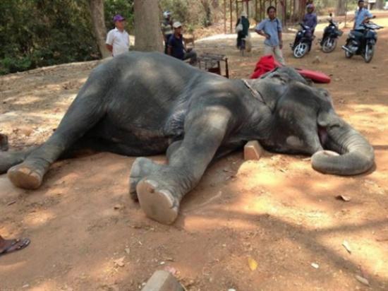 بالصور.. وفاة فيل بأزمة قلبية بسبب الإرهاق في نقل السياح