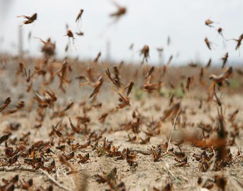 الزراعة: اسراب جراد على بعد 500 كم عن الأردن