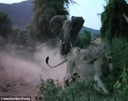 شاهد بالفيديو.. رد فعل «فيل» حاول «أسد» مهاجمة «رضيعه»