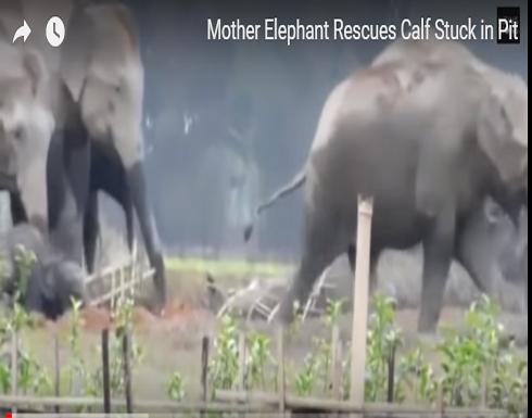 رد فعل أنثى فيل لحظة سقوط صغيرها في حفرة (فيديو)