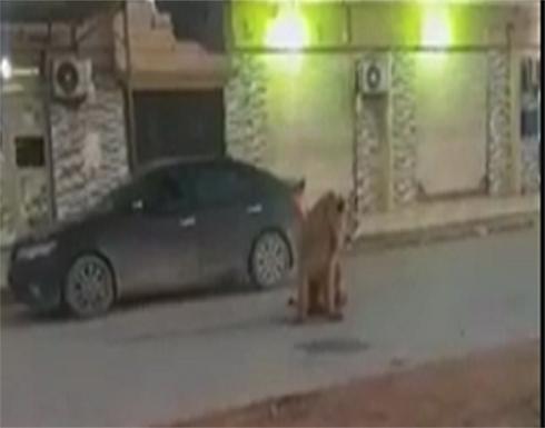 أسد يتجول في شوارع بنغازي .. فيديو