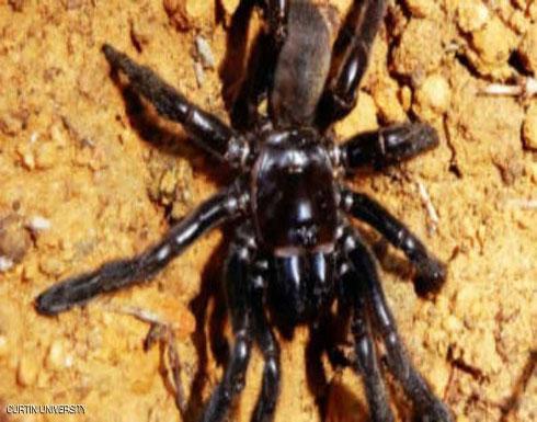 وفاة أكبر عنكبوت سنا في العالم
