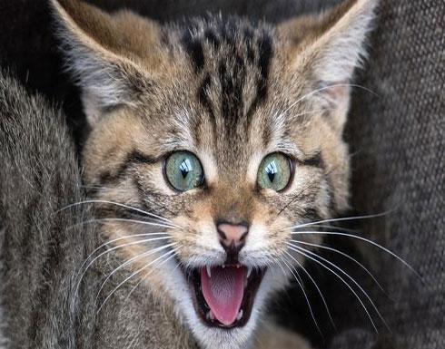شاهد : الأغرب في العالم.. القطة الغجرية تمتلك 22 إصبعا في قدميها