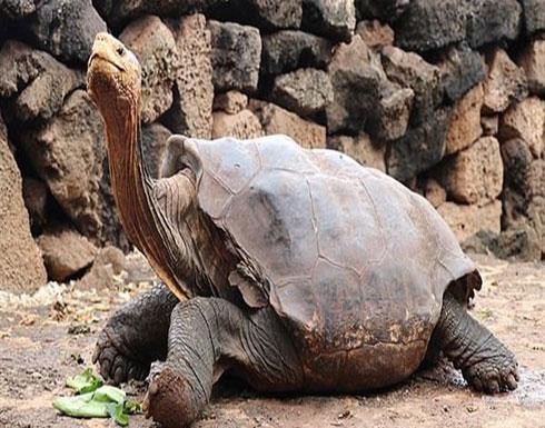 شاهد : سلحفاة تنجب 2000 صغير وتنقذ فصيلتها من الانقراض