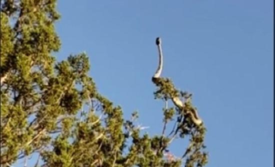 لقطات مخيفة لأفعى جرسية تتراقص على فرع شجرة (فيديو)
