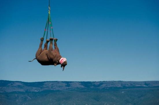 بالصور.. لقطات مذهلة لنقل وحيد القرن جوا لحمايته من الصيادين