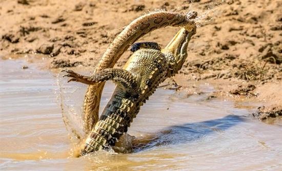 لقطات مذهلة لتمساح وثعبان يتصارعان حتى الموت في نهر (صور)