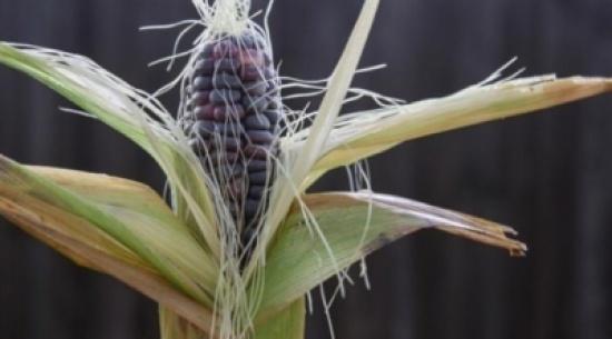 دراسة تقترح: الذرة الزرقاء علاج للبدانة وحماية للقلب