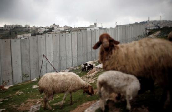 """الاحتلال """"يعتقل"""" نعجة في القدس ونشطاء يسخرون (فيديو)"""