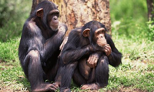 بالفيديو: حيوانات شمبانزي تستخرج الماء من الأشجار بطريقة ذكية