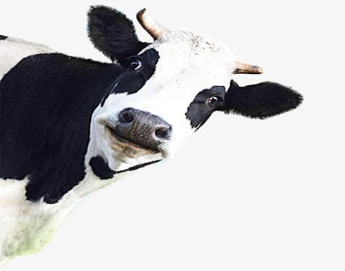 """البقرة """"بينكا"""" تحرك العالم.. وتنجو من الإعدام"""