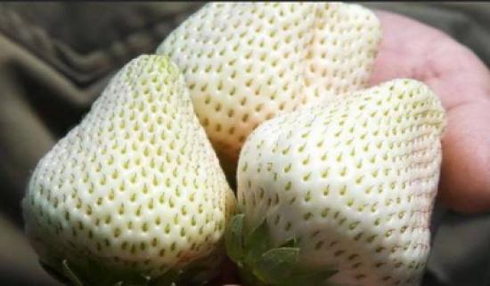 الجوهرة البيضاء.. فراولة بلون مختلف يزرعها رجل واحد بالعالم!
