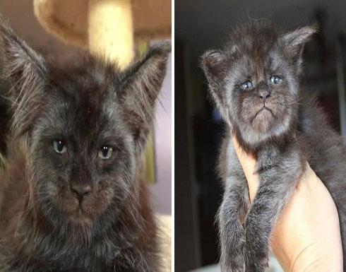 شاهد: عالمة روسية تنجح في تهجين سلالة جديدة من القطط ذات وجوه آدمية