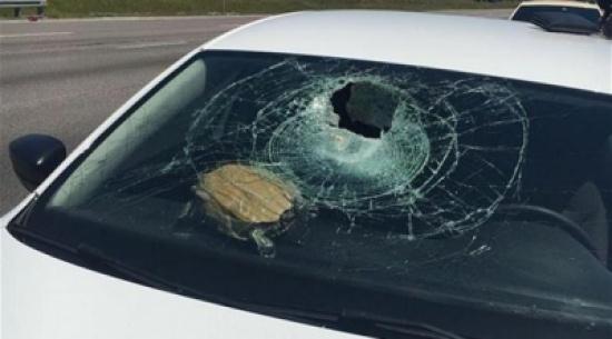 بالصور: سلحفاة حطمت سيارة بعد سقوطها من السماء