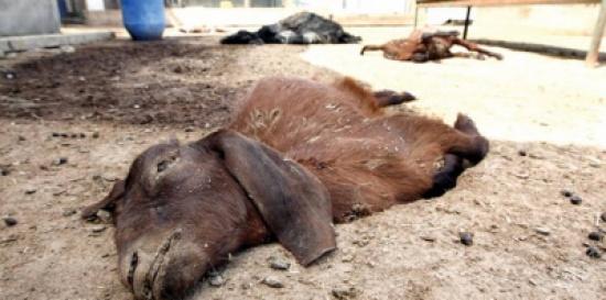 كلاب مسعورة  تقتل 74 رأسًا من الماشية في السعودية