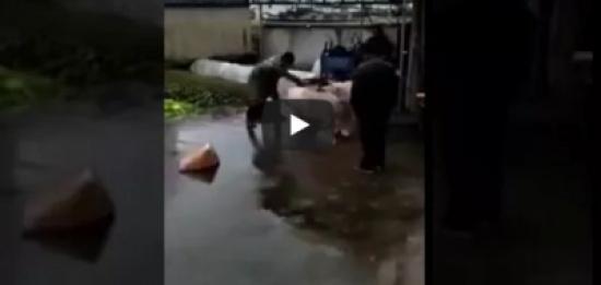 فيديو.. خنزير يحاول إنقاذ زميله من الذبح