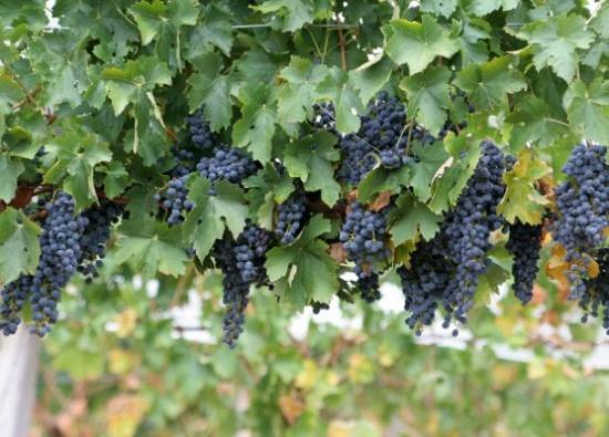العنب و فوائده التي تجهلها