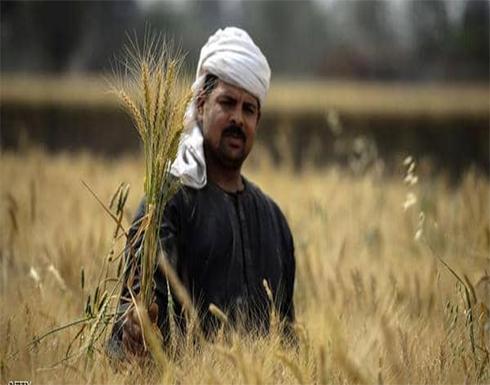 مصر تكشف مساحة الأراضي المزروعة بالقمح