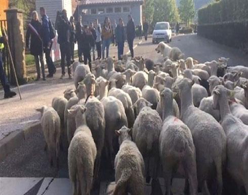 تسجيل 15 خروفا كطلاب في مدرسة فرنسية!