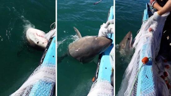 فيديو| صياد استرالي يصارع سمكة قرش ضخمة لإنقاذ شباكه من بين فكيها