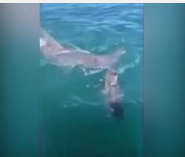 بالفيديو: معركة شرسة بين سمكتي قرش تنتهي بفقد إحداهما لنصفها